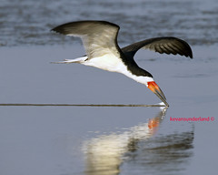 Black Skimmer Skimming At North Beach Fort DeSoto Park (kevansunderland) Tags: birds canon tern fortdesoto skimmer shorebirds birdinflight blackskimmer floridawildlife floridabirds birdsfishing skimmerskimming blackskimmerinflight allnaturesparadise