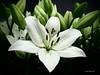 Lilies (Will.Mak) Tags: willmak olympus penf olympusm17mmf18 fantasticflower mzuiko