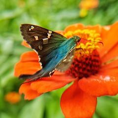 borboleta (Paulo Mattes) Tags: borboletas borboleta flor flores nature natureza instagram