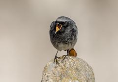 DSC4688 Black Redstart.. (jefflack Wildlife&Nature) Tags: blackredstart redstart redstarts birds avian animal wildlife wildbirds wintermigrant migrants songbirds countryside coastalbirds nature