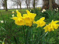 CLOSE UP ON DAFFODIL VARIETIES IN APRIL 2015 PEH 20150404_114053 (Coventry City Council) Tags: coombecountrypark coombeabbey coventry