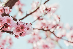 Freshness (Carrie McGann) Tags: blossoms plumblossoms 021417 nikon interesting