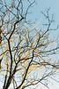 Golden ones (lorenzoviolone) Tags: finepix fuji400h fujix100s fujifilm fujifilmx100s golden vsco vscofilm x100s clearsky light mirrorless sky sticks streetphoto streetphotocolor streetphotography tree walk:rome=jan42017 winter wintertrees roma lazio italy fav10