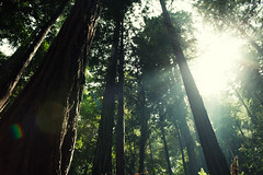 Redwoods at Muir Woods (RKT Vision) Tags: california trees monument nature outdoors woods glare marin muirwoods national bayarea redwood tamalpais canonef35mmf14lusm canoneos5dmarkii