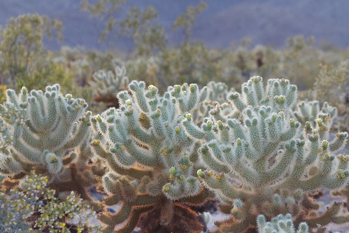 Cholla Cactus Garden by you.
