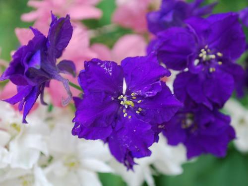 Larkspur pink Flowers