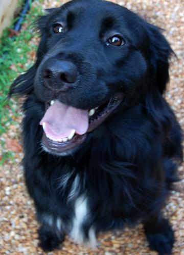 kynuado: black lab golden retriever mix puppies