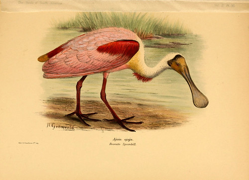 010- Espatula rosada-The birds of South America 1912