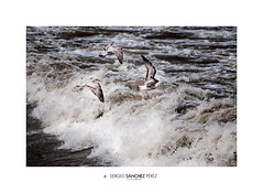 Tres contra el viento (Sergio Sánchez Pérez) Tags: españa sergio mar nikon viento aves vida tres nikkor sansebastian gaviotas euskadi paisvasco donostia sanchez marinas d300 océano 80400