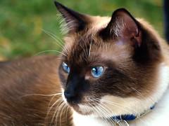 Bella Profile (joecrowaz) Tags: arizona cats pets animals kissablekat bestofcats kittyschoice catmoments alittlebeauty bestofspecialpetportraits