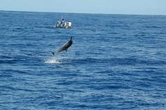 DSC_0198 (mjmermis) Tags: hawaii dolphins kauai napalicoast