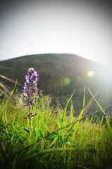 (manfrotto tripods) Tags: california flower nature purple tripod workshop tripods manfrotto dongale corradogiulietti