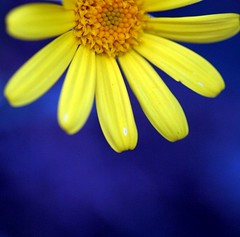 . (FotoRita [Allstar maniac]) Tags: life blue italy rome flower roma colors yellow digital canon blu giallo daisy fiore myfavourites canoneos350d eos350d margherita byfotorita