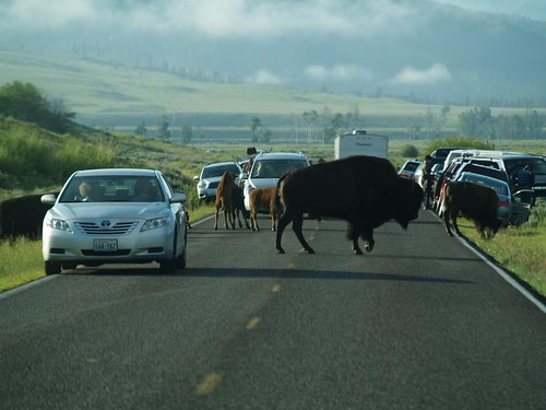 bison on the road in the lamar valley