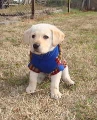 Angus - 50 dias (-.Juampi.-) Tags: dog chien pet love labrador angus amor retriever perro cachorro sweetheart mascota tenderness ternura graciasmelu