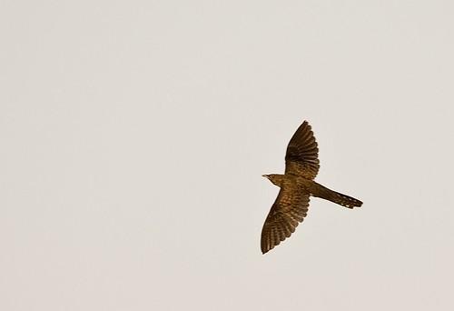 El cuco migra de noche y es uno de las primeras aves migratorias en iniciar el viaje