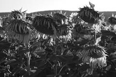 old-sunflower-2 (brumó) Tags: italy italia tuscany chianti siena fiori toscana fiore 2009 vigne girasole paglia cretesenesi luglio sangiovese agricoltura campodigirasoli vinotoscano