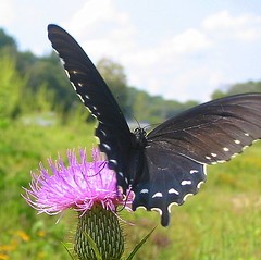 pipevine 1 (livingglassart home of oddballs and oddities) Tags: nature butterfly tennessee wildlife september monday wildflower perryville bullthistle pipevineswallowtail decaturcounty