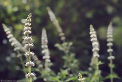 (ANOODONNA) Tags: flowers alrasheed alanood   anoodonna