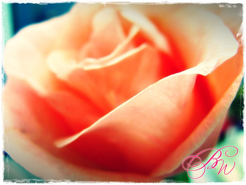 light_pink_Rose by you.