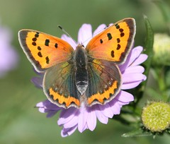 Small Copper (Katie Fuller) Tags: flowers autumn orange butterfly garden lilac thelodge smallcopper lycaenaphlaeas