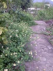迎客的小白花