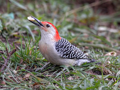 Red-bellied Woodpecker (male) (Tony Tanoury) Tags: red wild bird nature animal closeup fauna bill woodpecker michigan wildlife beak feather peanut fav redbelliedwoodpecker legacy ornithology avian melanerpescarolinus potofgold naturesfinest bej anawesomeshot maleredbelliedwoodpecker