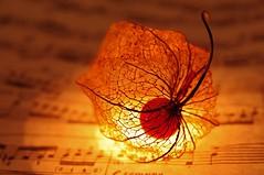 Autumn Rhapsody (Edzone) Tags: autumn orange plant fall bach soe chineselantern musicnotes newvision wintercherry physalisalkekengi supershot flickrsbest abigfave strawberrytomato peregrino27newvision