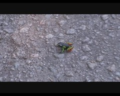 Mantella madagascariensis (Painted Mantella) (Arthur Chapman) Tags: video frogs madagascar ranomafana anura mantella amphibia madagascariensis taxonomy:class=amphibia taxonomy:order=anura taxonomy:kingdom=animalia taxonomy:phylum=chordata paintedmantella geocode:accuracy=2000meters geocode:method=googleearth geo:country=madagascar mantellamadagascariensis taxonomy:binomial=mantellamadagascariensis taxonomy:common=paintedmantella taxonomy:genus=mantella taxonomy:family=mantellidae