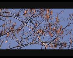 Cinnyris notatus (Madagascar Green Sunbird or Long-billed Green Sunbird) (Arthur Chapman) Tags: birds video aves madagascar ranomafana notatus cinnyris taxonomy:order=passeriformes taxonomy:class=aves taxonomy:kingdom=animalia taxonomy:phylum=chordata cinnyrisnotatus longbilledgreensunbird geocode:accuracy=2000meters geocode:method=googleearth geo:country=madagascar taxonomy:family=nectariniidae taxonomy:genus=cinnyris madagascargreensunbird taxonomy:binomial=cinnyrisnotatus taxonomy:common=madagascargreensunbird taxonomy:common=longbilledgreensunbird