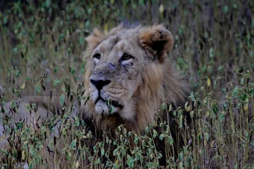 Low 2009-11-29 Sasan Gir - 01 Safari 30