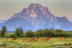 Elk under Mount Moran (Jeff Kreulen) Tags: nature landscape nikond70 wildlife wyoming grandtetonnationalpark colorphotoaward singleshothdr