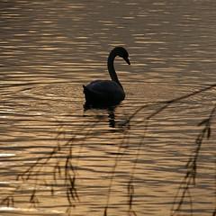 Swan (ditmaliepaard) Tags: swan shertogenbosch tegenlicht zwaan maaspoort abigfave flickrdiamond noorderplas goldstaraward