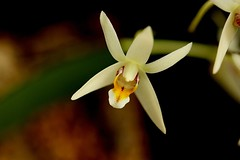 Epigeneium triflorum var orientale (Xmpraedicta) Tags: orchid mounted orientale epigeneium triflorum