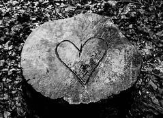 #339 heart stump (rah rah minxy pants) Tags: white black project photography heart stump 365
