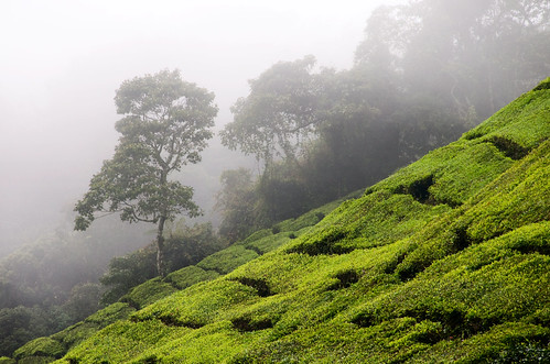 Cameron Highlands 10