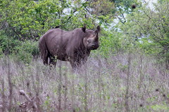 Black Rhino Stare Down