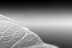 inversion (assemblage) Tags: blackandwhite bw white lines leaf raw natural lace edge inversion delicate invert linework lacework