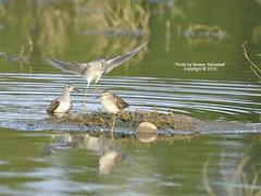 Get out of my way (CLICK GROUP معين الشريف Moeen) Tags: nature birds nikon saudiarabia birdwatcher معين jazan gizan السعودية طيور نيكون الشريف المملكةالعربيةالسعودية جيزان جازان thewonderfulworldofbirds طيورالجزيرةالعربية طيورالمملكةالعربيةالسعودية الهويدي