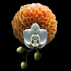 Phalaenopsis & Dahlia (Pixel Fusion) Tags: dahlia phalaenopsis orchid flower flora nature macro nikon d600