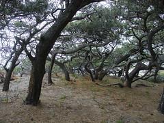 torreypines_2 (djoyall) Tags: sandiego pines torrey