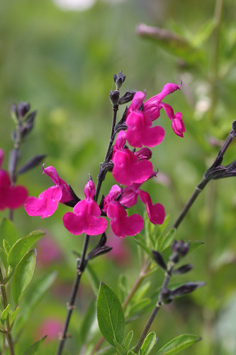 "Salvia greggii ""SavanahBurgundy"""
