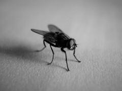Hey boy! (AYUMI-TURQUOISE) Tags: bw white black macro fly turquoise bn mosquito bianco nero mosca ayumi insetto volare moscax