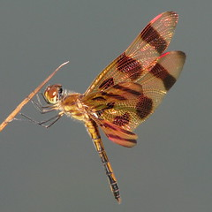 Halloween Pennant in the late sun (Vicki's Nature) Tags: male yard canon georgia ode dragonfly s5 pennant odonata halloweenpennant celithemiseponina odonate abigfave platinumphoto natureoutpost theperfectphotographer vickisnature vosplusbellesphotos bestofmywinners bwcgnaturesjewels bwcgabcs