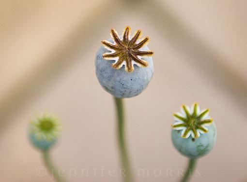 Poppy seed head 3