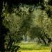 Sous l'olive