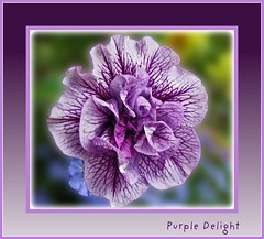 ~~ Purple Delight ~~ (brendamb - Brenda) Tags: flower bokeh petunia frilly purpledelight qualitypixels kunstplatzlinternational phoddstica brendamb frameit utstandingimages lamiciziafaladifferenzafriendshipmakesthedifference