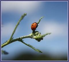 Endstation... (   flickrsprotte  ) Tags: canon ilovenature himmel ladybird grn blau insekt marienkfer maro 7punkt ritabaer