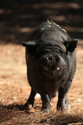 Lucky potbellied pig looking cool