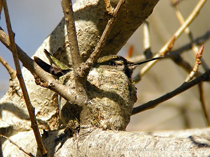 Anna's Hummingbird nest091-8